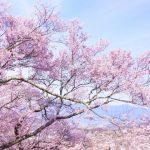 大河原の桜まつりのおすすめスポットと一目千本桜の開花状況