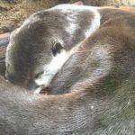 仙台うみの杜水族館6月の感想~特別バックヤードツアーのツメナシカワウソとお土産